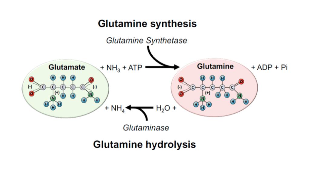 Glutamina - Síntesis