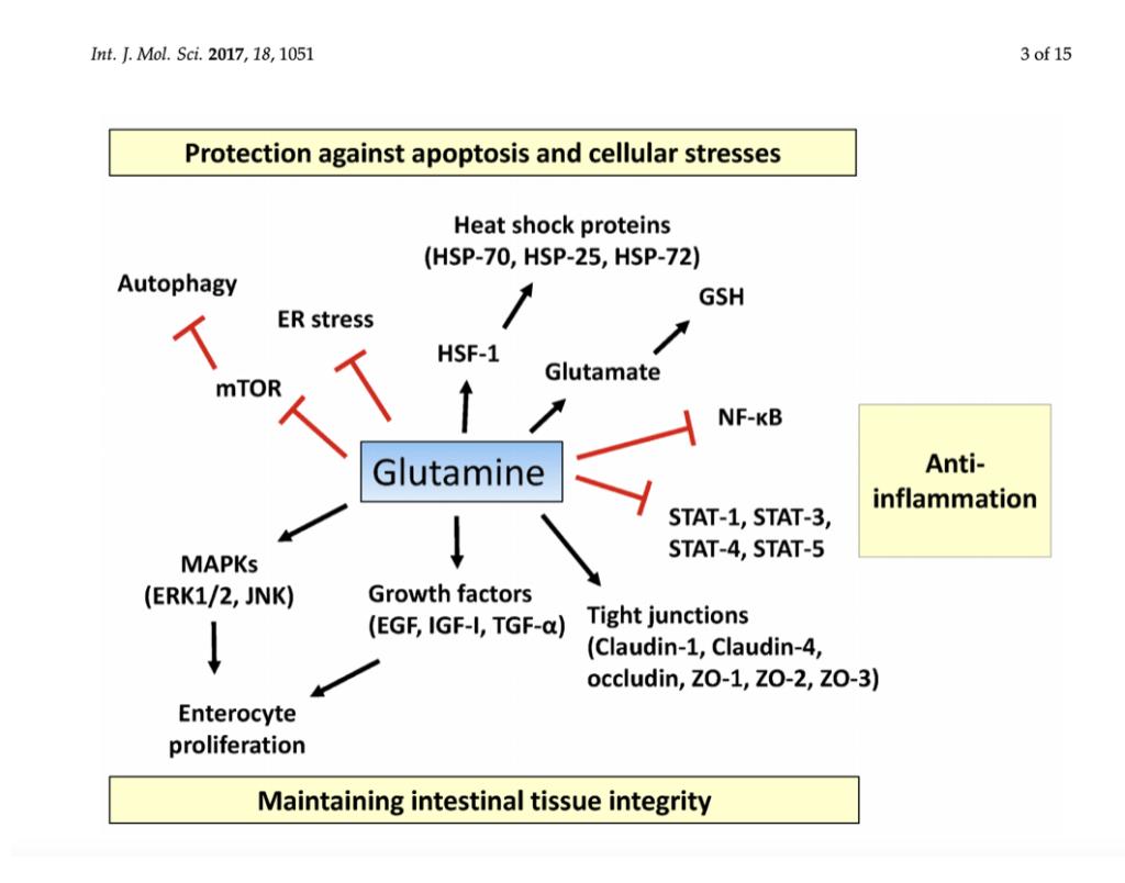 Glutamina y protección celular gastroinstestinal